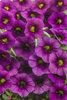 Superbells® Plum - Calibrachoa hybrid