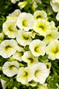 Superbells® Yellow Chiffon - Calibrachoa hybrid