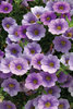 Superbells® Lovely Lavender - Calibrachoa hybrid