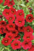 Superbells® Red - Calibrachoa hybrid