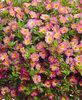 Superbells® Sweet Tart - Calibrachoa hybrid