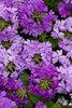 Superbena® Large Lilac Blue - Verbena hybrid