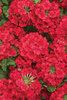 Superbena® Red - Verbena hybrid