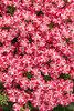 Superbena® Royale Cherryburst - Verbena hybrid