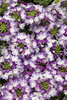 Superbena® Sparkling Amethyst - Verbena hybrid