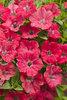 Supertunia® Watermelon Charm - Petunia hybrid