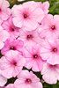 Supertunia® Cotton Candy - Petunia hybrid
