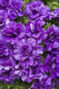Supertunia® Double Dark Blue - Petunia hybrid