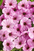 Supertunia® Flamingo - Petunia hybrid