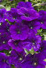 Supertunia® Mini Blue - Petunia hybrid