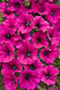Supertunia® Mini Purple - Petunia hybrid