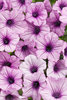 Supertunia® Orchid Charm - Petunia hybrid