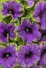 Supertunia® Picasso in Blue™ - Petunia hybrid