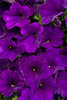 Supertunia® Royal Velvet - Petunia hybrid