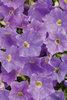 Supertunia® Blue Skies - Petunia hybrid
