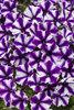 Supertunia® Violet Star Charm - Petunia hybrid