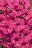 Supertunia® Vista Fuchsia - Petunia hybrid