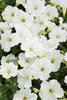 Supertunia® Mini White - Petunia hybrid