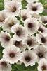Supertunia® White Russian - Petunia hybrid