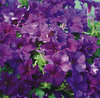 Surfinia® Purple Majesty - Petunia hybrid