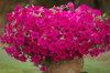 Surfinia® Sumo Plum - petunia - Petunia hybrid