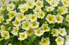 Surfinia® Yellow - Petunia hybrid