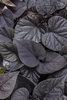 Sweet Caroline Sweetheart Jet Black™ - Sweet Potato Vine - Ipomoea batatas