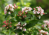 Sweet Emotion® - Hardy abelia - Abelia mosanensis