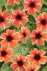 Tangerine Slice A-Peel® - Black-Eyed Susan Vine - Thunbergia alata