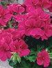Timeless™ Rose - Geranium - Pelargonium