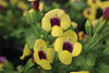Catalina® Gilded Grape - Wishbone Flower - Torenia