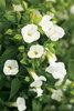 Catalina® White Linen - Wishbone Flower - Torenia