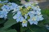 Tuff Stuff Ah-Ha® - Reblooming Mountain Hydrangea - Hydrangea serrata