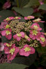 Tuff Stuff™ Red - Mountain Hydrangea - Hydrangea serrata