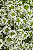 White Knight® - Alyssum - Lobularia hybrid