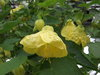 Yellow Finch - Flowering Maple - Abutilon hybrid