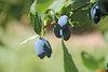Yezberry Sugar Pie® - Japanese haskap - Lonicera caerulea