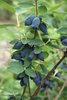 Yezberry Honey Bunch® - Japanese Haskap - Lonicera caerulea
