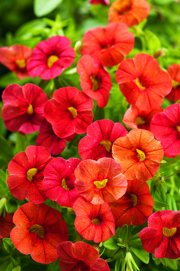 Superbells dreamsicle calibrachoa hybrid images - Calibrachoa superbells ...