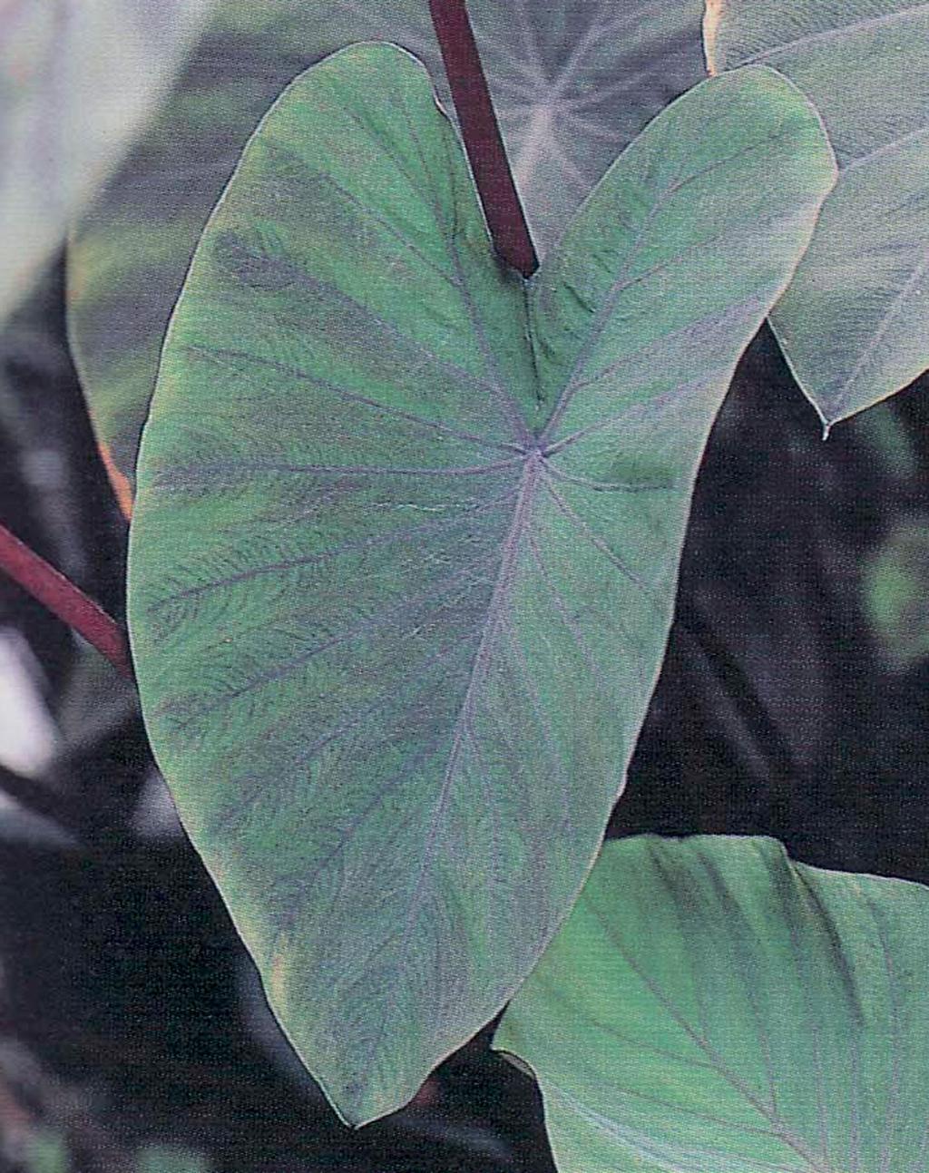 Heart Of The Jungle Elephant S Ear Colocasia Esculenta