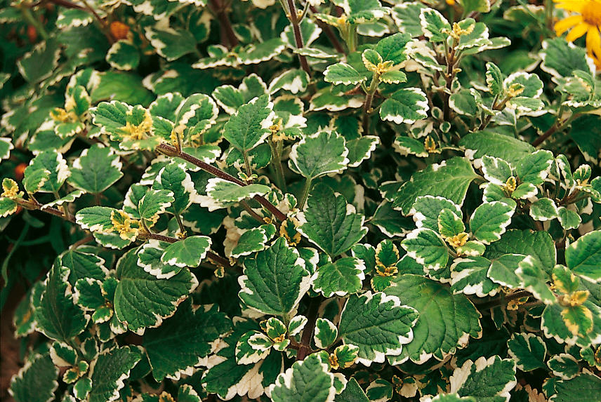 Variegata - Swedish Ivy - Plectranthus coleoides | Proven Winners