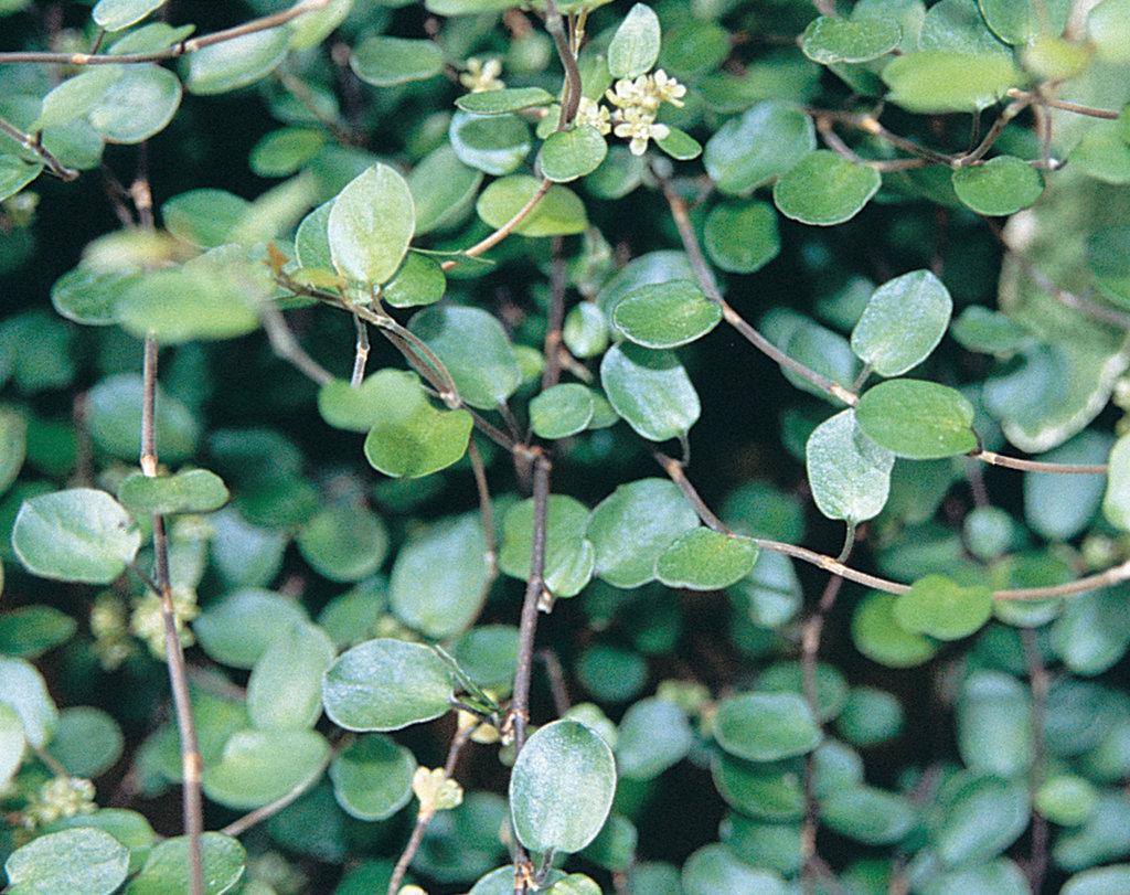 Big Leaf Creeping Wire Vine Muehlenbeckia Axillaris