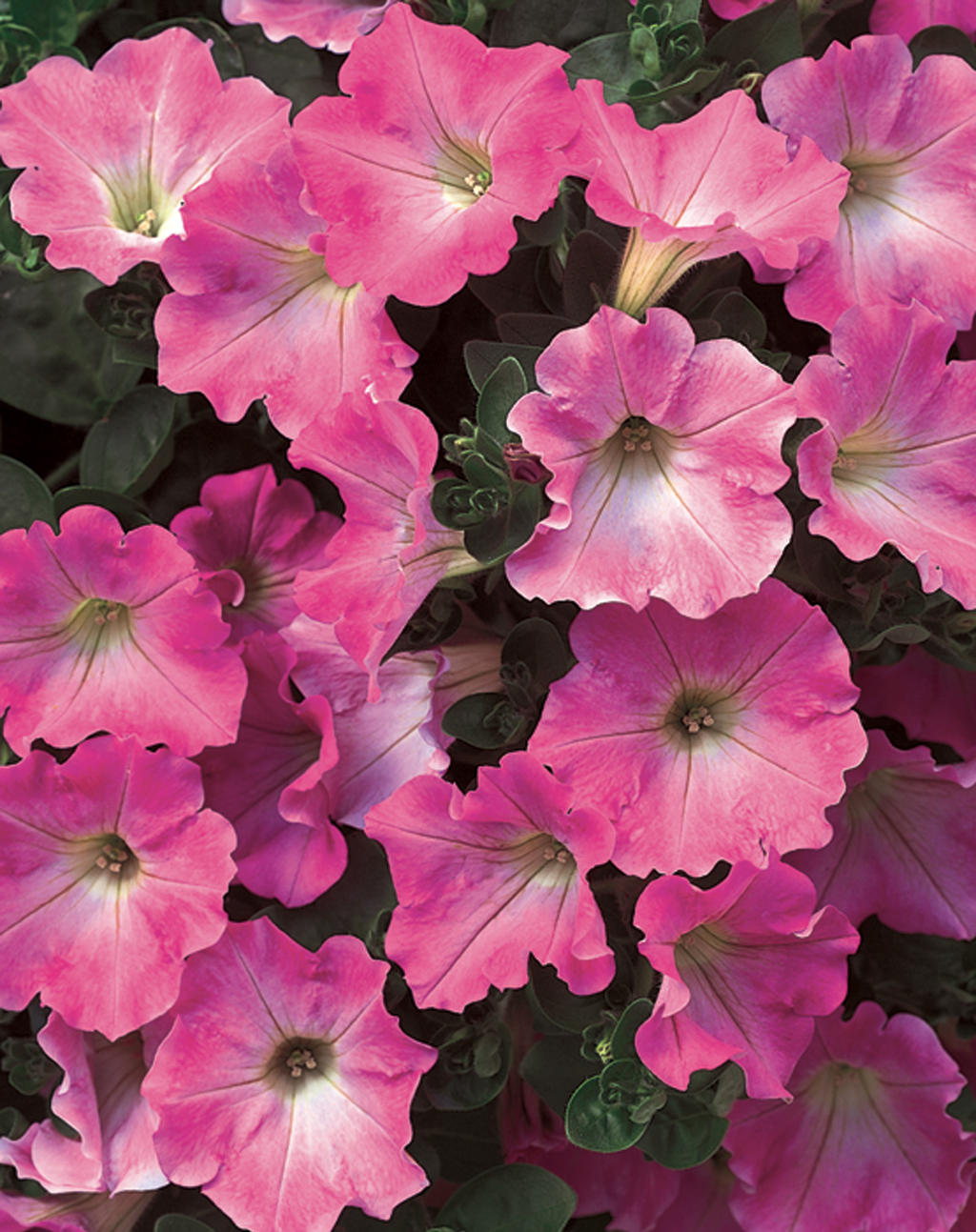 Supertunia Giant Pink Petunia Hybrid Images Proven Winners