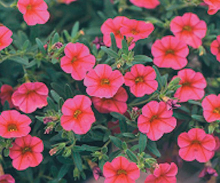Million bells trailing pink calibrachoa hybrid proven winners 71123g mightylinksfo
