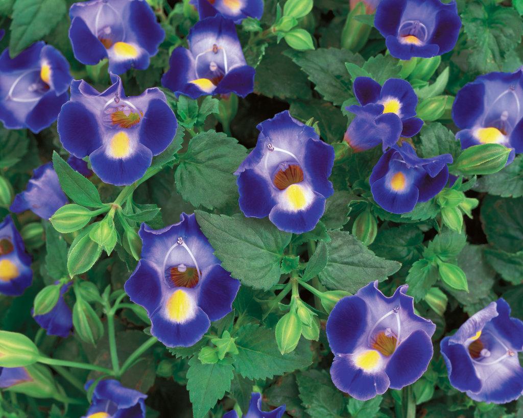 Catalina midnight blue wishbone flower torenia proven winners view details izmirmasajfo
