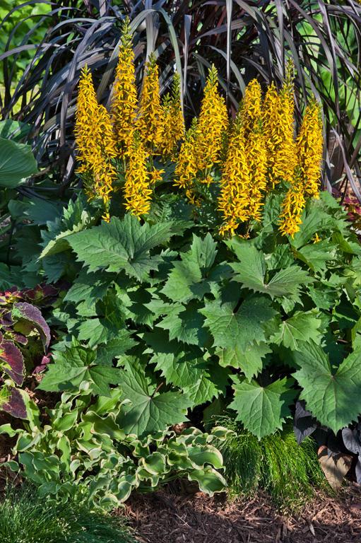 39 bottle rocket 39 ligularia hybrid proven winners for Low maintenance perennials for shade