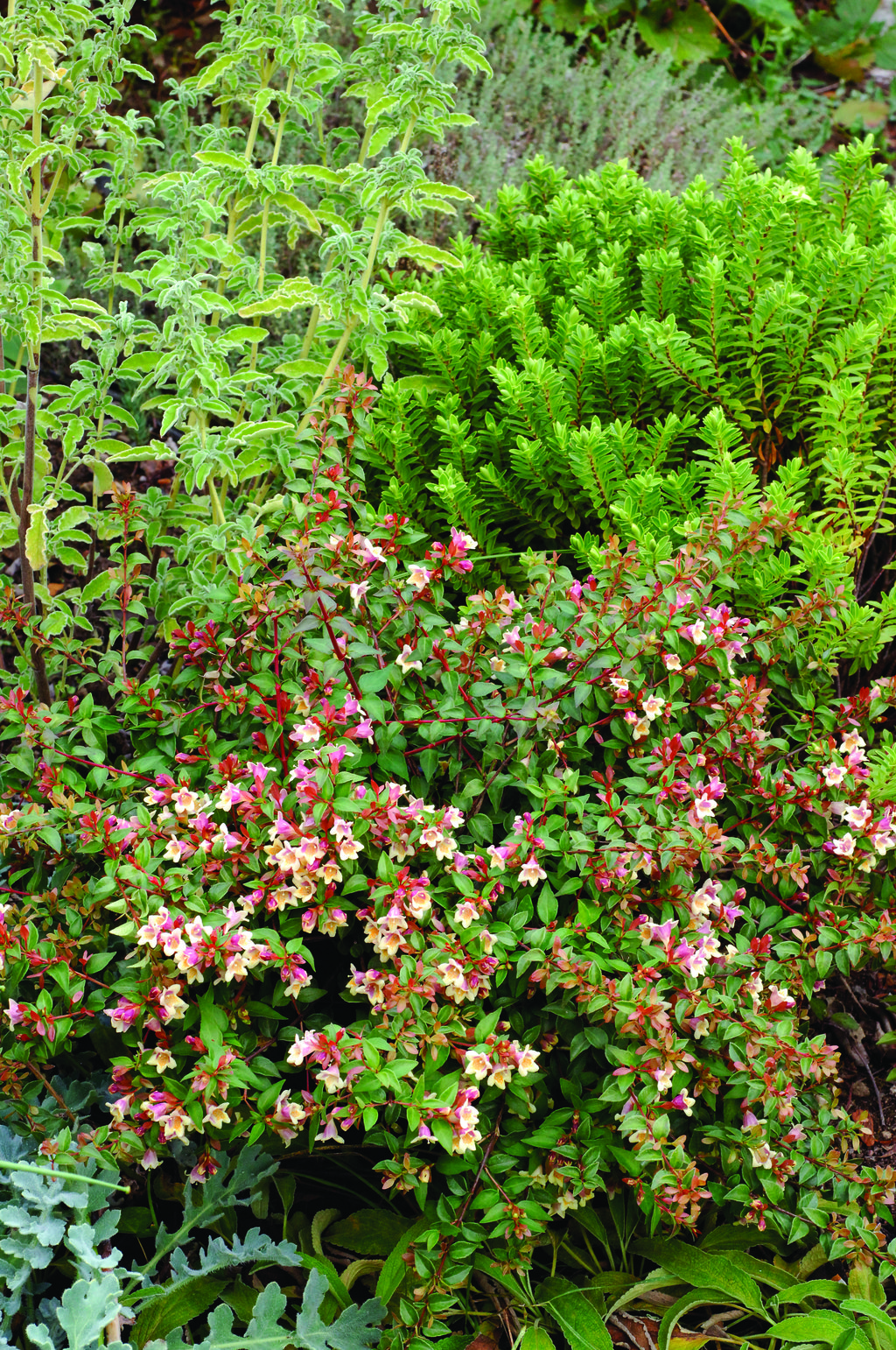 Sunny Anniversary Abelia X Grandiflora Proven Winners