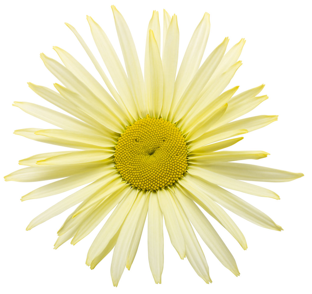 Amazing daisies banana cream shasta daisy leucanthemum amazingdaisiesbananacream01g izmirmasajfo