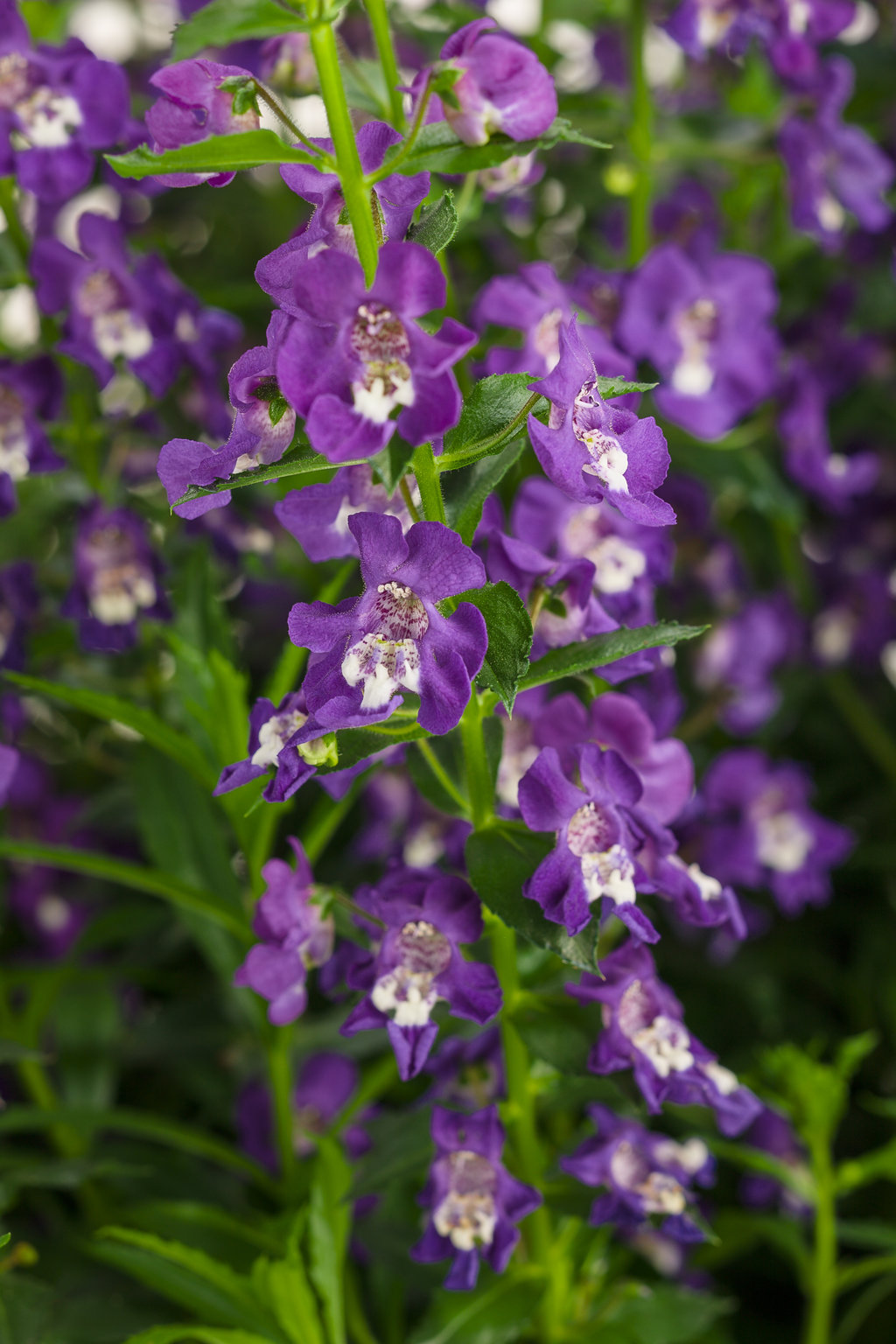 Angelface Super Blue Summer Snapdragon Angelonia Angustifolia