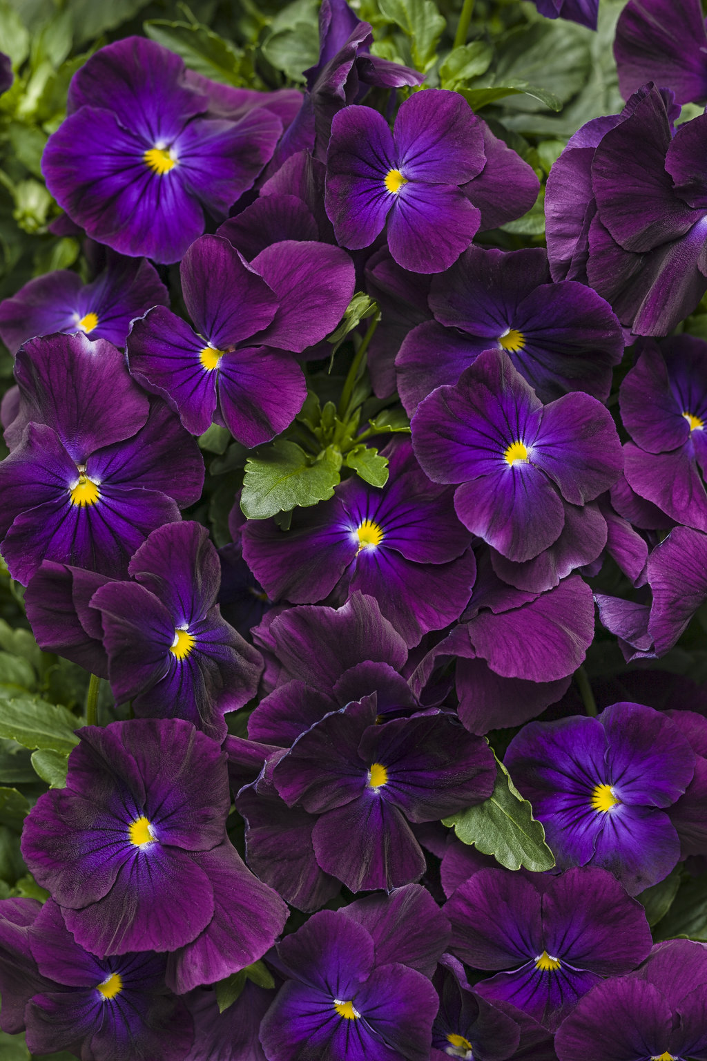 Anytime Plum Good Pansiola Viola X Wittrockiana Proven Winners
